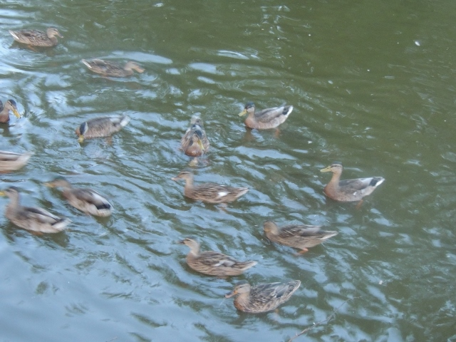waterfowl,let there be life-japan suicide